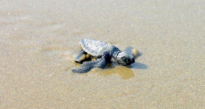 Ramnagar beach and Kalipur Beach Turtle Nesting Sightseeing Tour